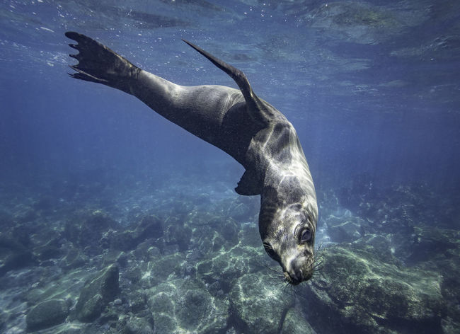 Galapagos sea lion playing underwater, Galapagos islands Animals In The Wild Diving Galapagos Galapagos Islands Galapagos Sea Lion Sea Lion UnderSea Underwater World Animal Animal Wildlife Aquatic Mammal Divingphotography Nature Ocean Sea Sea Lion Natural Habitat Swimming Underwater Underwater Photography Underwaterlife