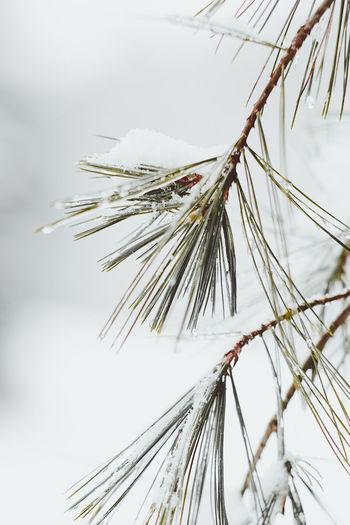 Winter Nettles