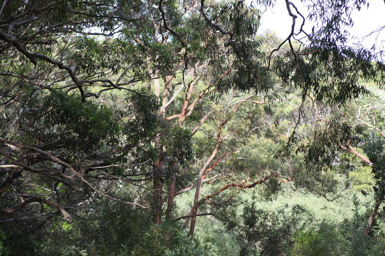 Eucalyptus tree forest, Port Stephens, NSW, Australia Australia Australian Native Tree Beauty In Nature Branch Day Environment Eucalyptus Eucalyptus Tree Foliage Forest Green Color Growth Land Lush Foliage Nature No People Non-urban Scene Outdoors Plant Rainforest Scenics - Nature Tranquil Scene Tranquility Tree Tree Canopy  WoodLand