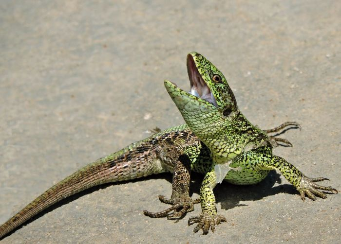 Animals In The Wild Green Green Color Lizard One Animal Reptile Wildlife