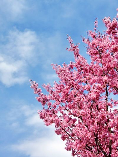 Sakura Pink Flowers Blue Sky Beautiful Nature Beautiful View Nature_collection Nature Spring March 桜