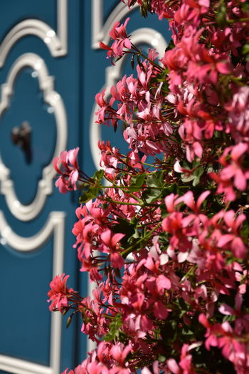 Blue Door Architecture Beauty In Nature Blue Building Exterior Built Structure Close-up Day Door Flower Flower Head Flowering Plant Focus On Foreground Fragility Freshness Growth Nature No People Outdoors Petal Pink Color Plant Selective Focus Vulnerability