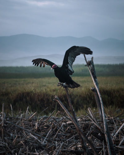 Exploring the odd surroundings of Mejia, Peru. No People Land Nature Sky Moody Dark Depression - Sadness Dramatic Tranquility Idyllic South America Latin America Vulture Outdoors Spread Wings Animal Themes One Animal Flying Animals In The Wild Animal Wildlife Animal Bird Grass Wood Field