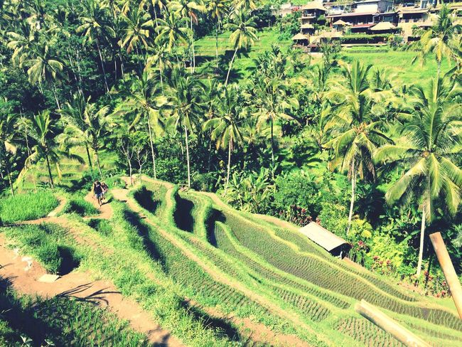 The rice fields in Tegalalang Ubud Green Color Agriculture Growth Field Plantation Terraced Field Rice Paddy Rice Field In Ubud Bali Tegalalang Ubud, Bali Rural Scene Tree Nature Landscape