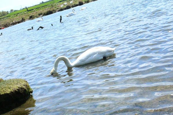 Swan White Swan Water Estuary