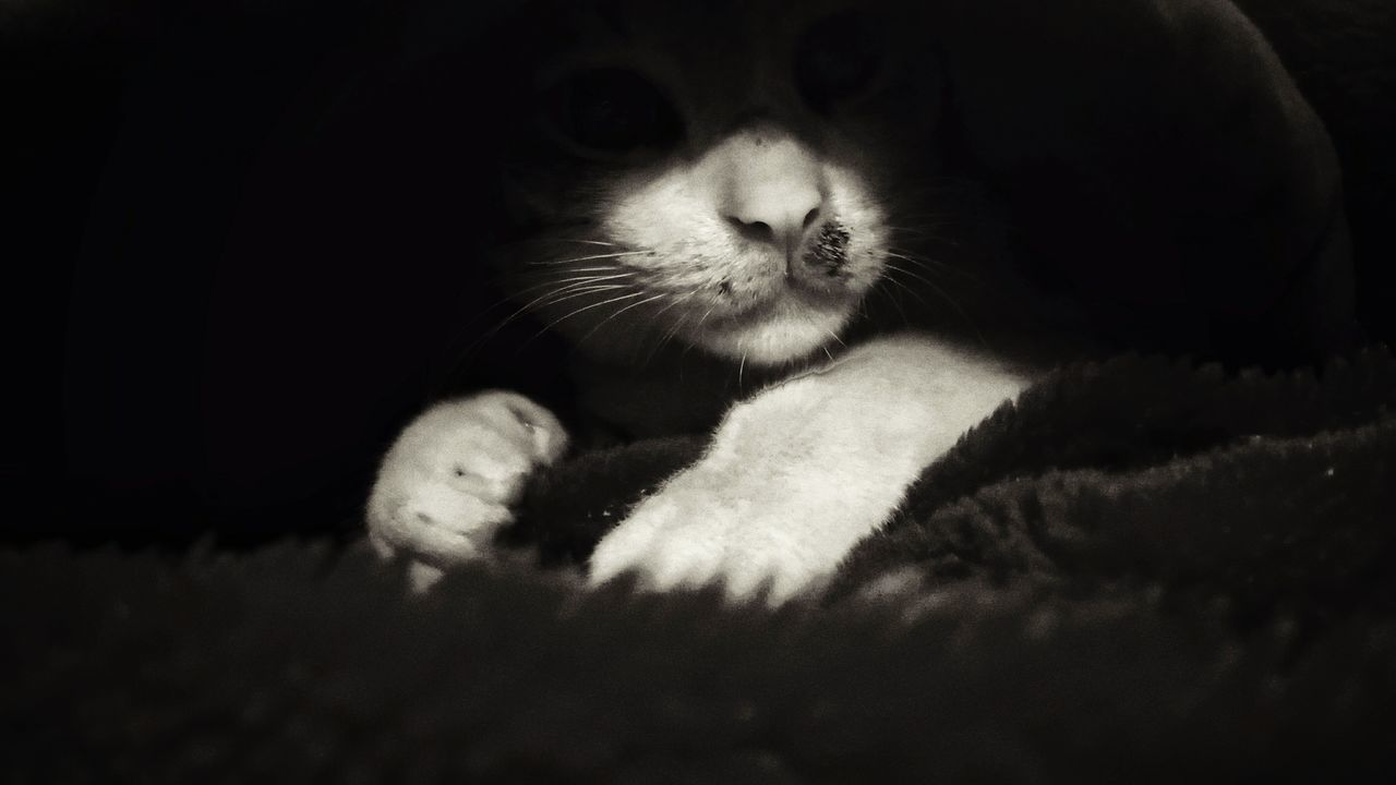 one animal, domestic cat, animal themes, pets, domestic animals, feline, mammal, no people, whisker, indoors, relaxation, close-up, day