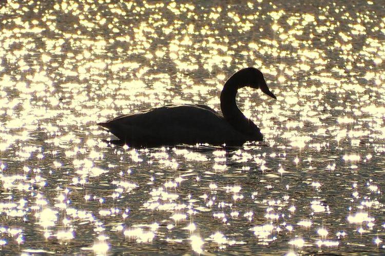 茨城県坂東市の菅生沼の白鳥です。