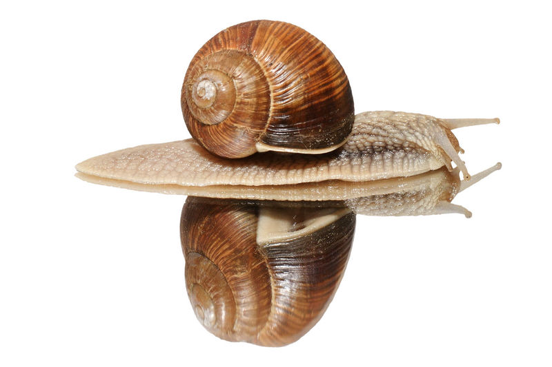 Animal Animal Body Part Animal Shell Animal Themes Animal Wildlife Animals In The Wild Brown Close-up Crawling Cut Out Gastropod Indoors  Invertebrate Mollusk No People One Animal Shell Snail Spiral Studio Shot White Background