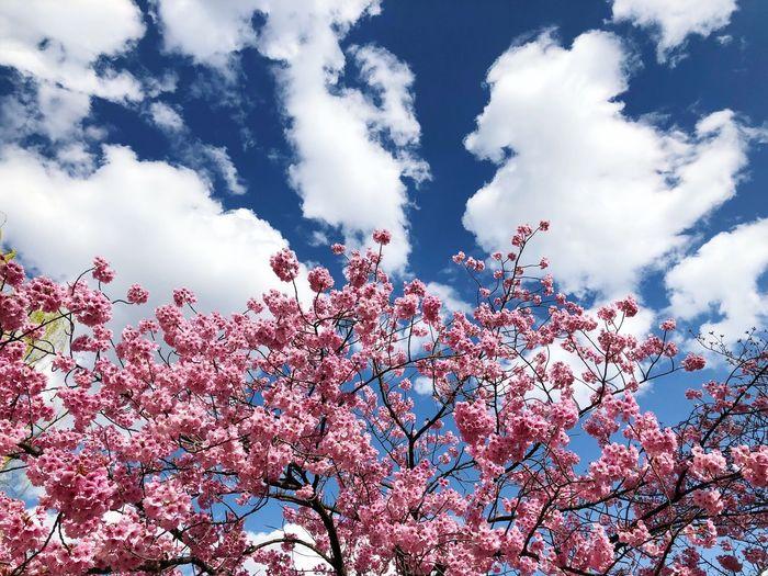 春本番 Cherry