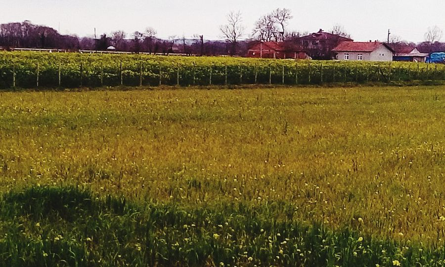 Bafra, Samsun Turkey Samsun Kızılırmakdeltası Kuscenneti Yeşilırmak Delta Agriculture Crop  Field Farm Growth Rural Scene Outdoors Nature No People Cereal Plant Beauty In Nature Grass Tree Freshness Day Sky Food