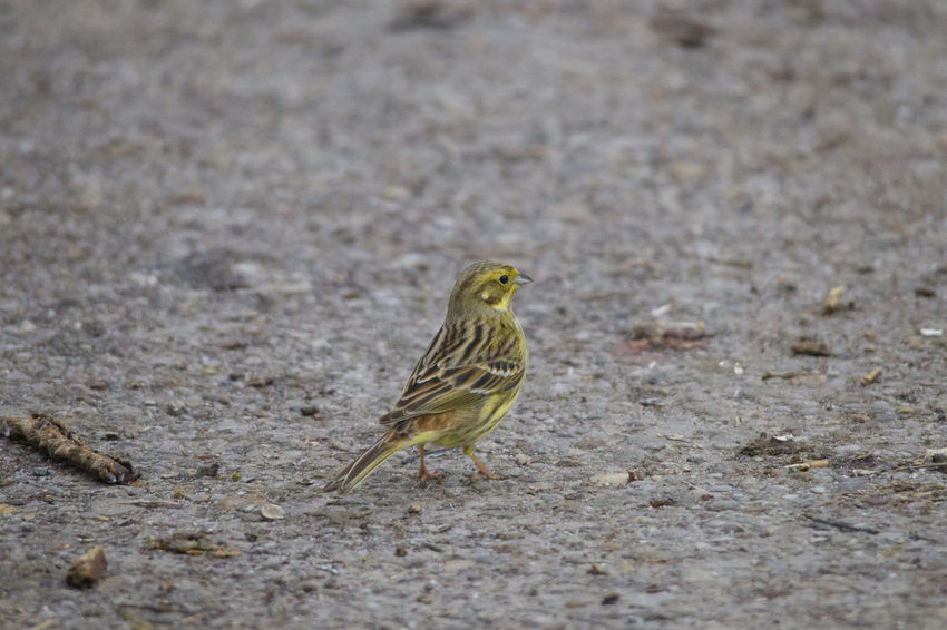a male yellowhammer sitting in the snow searches for food on the ground in front of a fence Animal Themes Animal Wildlife Animals In The Wild Bird Close-up Day Nature No People One Animal Outdoors Perching Sparrow