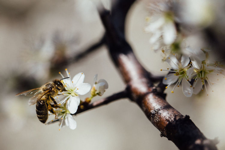 Bee on flower Flower Flowering Plant Plant Fragility Beauty In Nature Vulnerability  Freshness Growth Close-up Petal Tree Nature Blossom Pollen Springtime Outdoors Invertebrate Entomology Macro Photography EyeEm Best Shots EyeEm Nature Lover