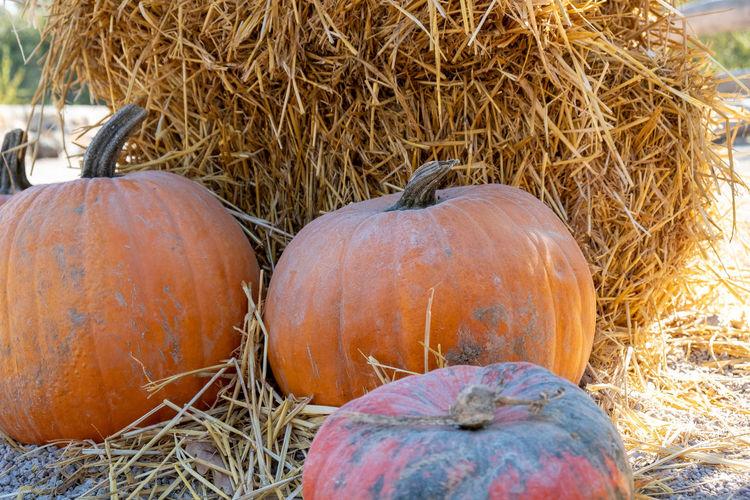 High angle view of pumpkins on hay