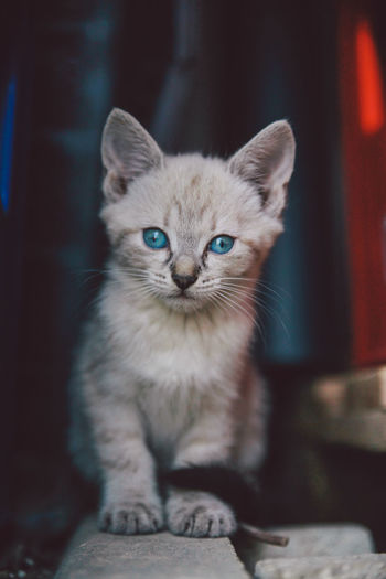 Close-Up Portrait Of Kitten With Blue Eyes