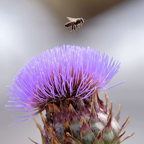 the bee and the flower Flower Head Flower Thistle Insect Purple Bee Petal Close-up Animal Themes Plant Butterfly - Insect Animal Wing Coneflower Flapping Bumblebee Honey Bee Buzzing Passion Flower Symbiotic Relationship