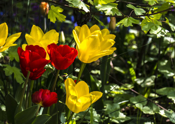 April Beauty In Nature Bokeh Day Festival Flower Flower Head Flowers Fragility Freshness Growth Italy Nature Nature No People Outdoors Plant Pralormo Spring Spring Flowers Tulips