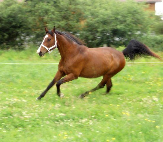 Beggi unsere Oldenburger Warmblut Stute Horse Running Horse Summer Animals
