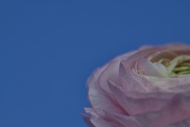 Close-up of pink ranunculus against blue sky