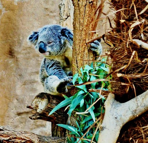 Animals Koala Abqphotos Zoo Animals  Zoophotography