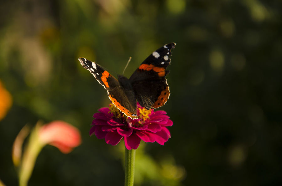 Animal Themes Animal Wing Animals In The Wild Beauty In Nature Butterfly Butterfly - Insect Butterfly And Flowers Close-up Day Flower Flower Head Focus On Foreground Fragility Freshness Hovering Insect Nature No People One Animal Outdoors Plant Pollination Spread Wings