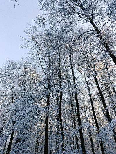 Bare Tree Beauty In Nature Clear Sky Cold Temperature Day Forêt De Soignes Low Angle View Nature No People Outdoors Sky Sonian Forest The Great Outdoors Tree Winter