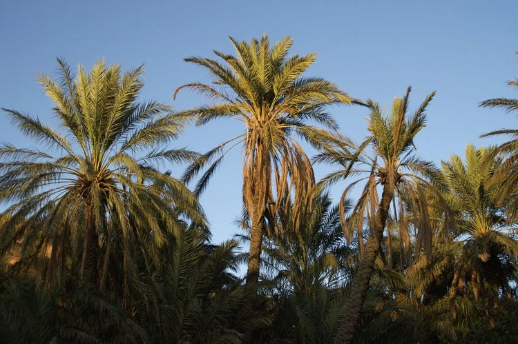 Ziz valley, Errachidia in Morocco. Morocco MoroccoTrip North Africa Africa Beauty In Nature Date Palm Tree Day Errachidia Low Angle View No People Palm Leaf Palm Tree Scenics - Nature Sky Tranquil Scene Tranquility Travel Destinations Valley Ziz Ziz Valley