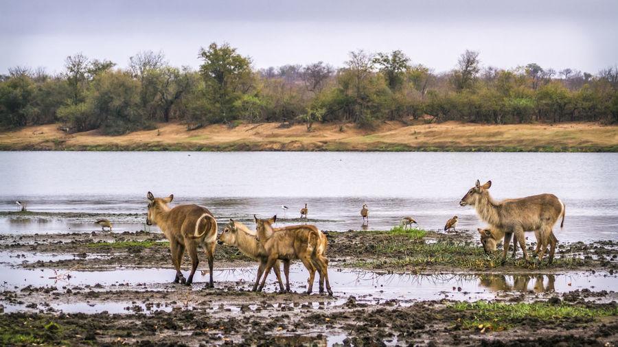 Deer and birds at riverbank