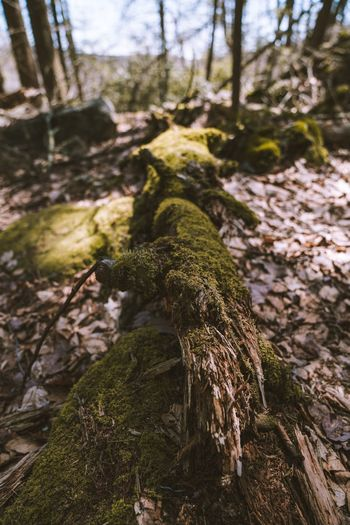 Tree Plant Tree Trunk Trunk Forest Nature Land