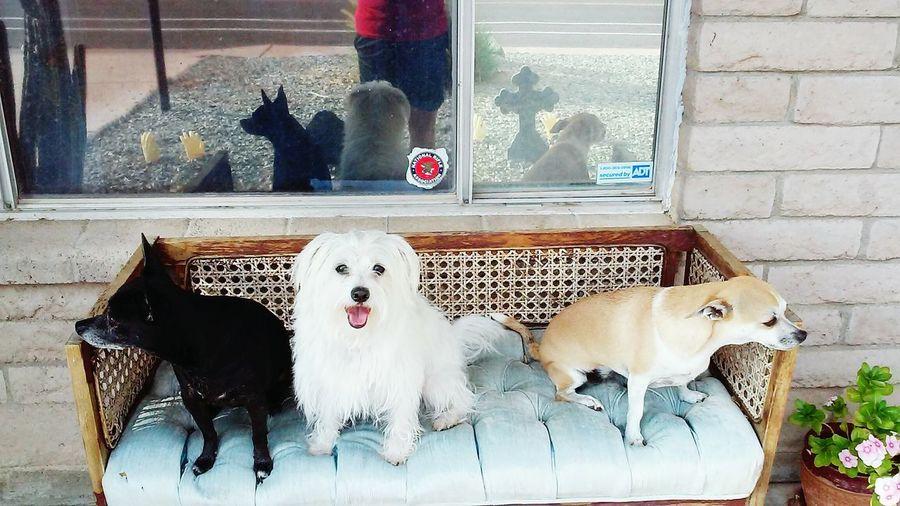 ThethreeamigosPetportrait EyeEmAnimalLover Chihuahua Love ♥ Jackrusselllove Poodle Love Cute Pets Dogsofeyeem Reflection Halloween