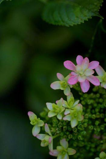 紫陽花が咲き始めました♡ 紫陽花2015Photo 花びらふぇち Flower Flowers