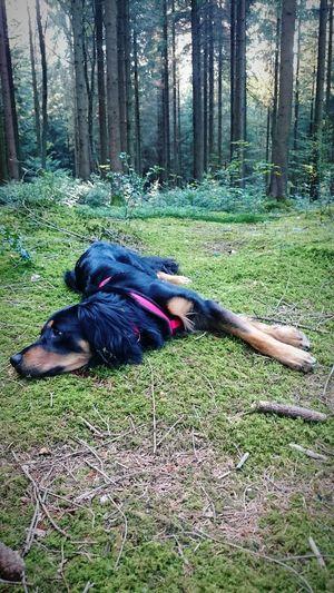 Relaxing Waldspaziergang Wald Tiere Hunde Dog Walking Herbst Bäume Borring
