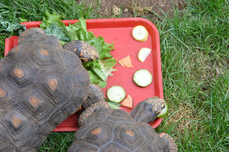 Tortoises eating Animals In Pair Feasting Tortoises Nature'sDiversities No People Outdoors Reptile Turtle