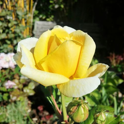 I love this gorgeous yellow..! And smells good too... 😃Beautiful Rose ♡ Yellow Rose From My Garden Flowers From My Garden The Eyeem Collection At Getty Images Getty Images Gettyimagesgallery Lets Make This Fleeting Moment Last Forever Gettyimages Getty X EyeEm EyeEm Best Shots