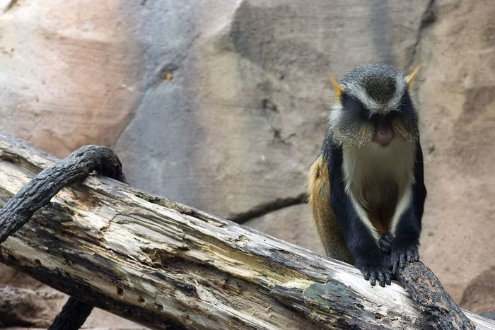 Animal Themes Animal Wildlife Animals In The Wild Close-up Day Mammal Monkey Nature No People One Animal Outdoors Sitting Wood - Material Zoo