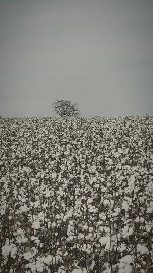 Tree In Ga Cotton Field Nature No People Landscape Beauty In Nature Tree Outdoors Day