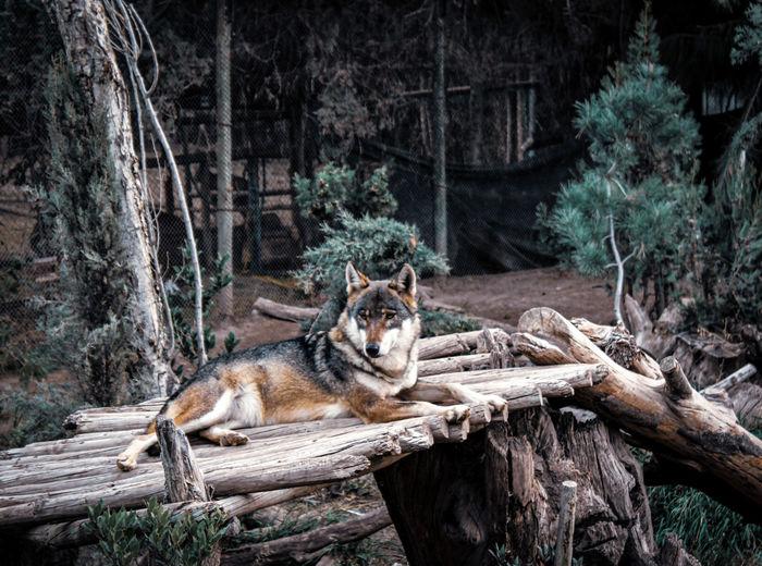 Wolf resting.