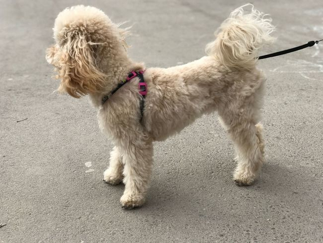 Poodletoy Poodle Dog Pets Domestic Animals Animal Themes Mammal One Animal Day Outdoors No People Pet Collar