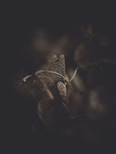 Dark and moody macro dead hydrangea skeleton Selective Focus Plant Close-up No People Leaf Plant Part Nature Growth Dry Fragility Vulnerability  Studio Shot Brown Day Outdoors Still Life Beauty In Nature Freshness Single Object Tranquility Black Background