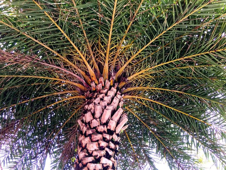 Date palm Flourishing