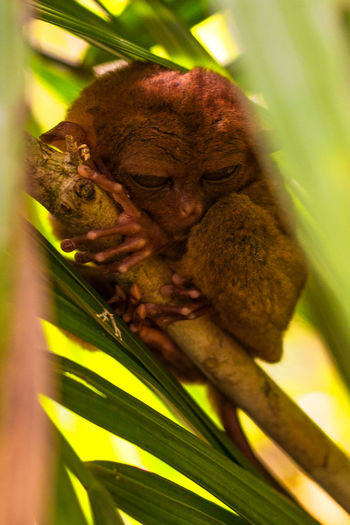 Cute little tarsier half sleeping Green Leafs Nature Philippines Scenic Travel Animal Beauty In Nature Branch Forest Idyllic Lush Foliage Tarsier Travel Destinations Vegetation Wildlife
