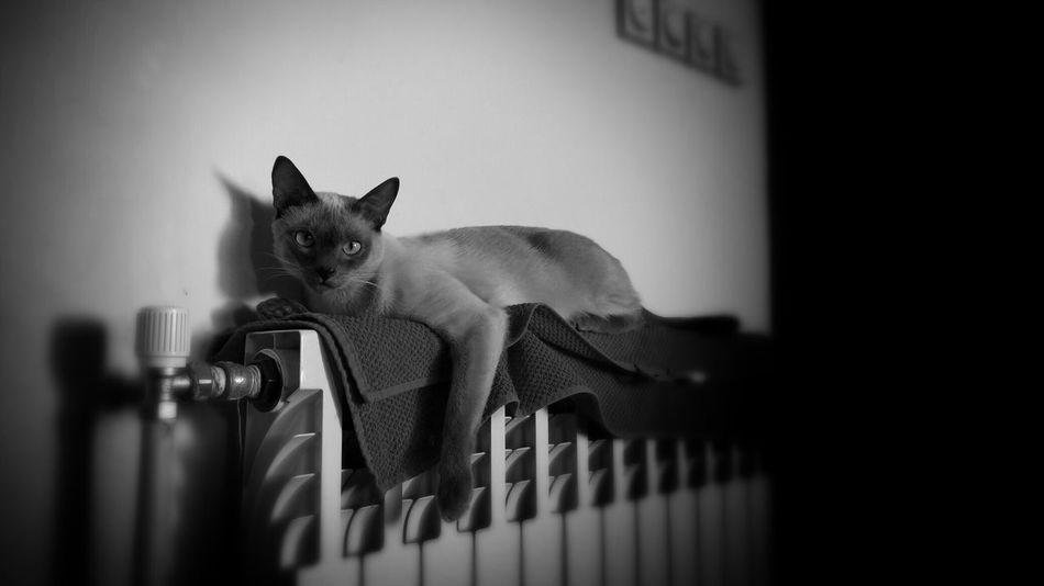 Cat Cats Siamesecat Siamesecats Pet Tango Kitty Kitten