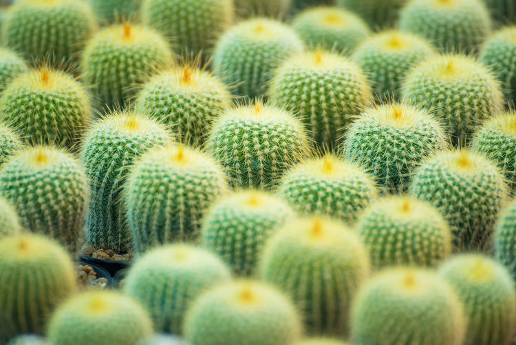 Group of small cactus plant in the pot at cactus garden.Thailand Arid Climate Backgrounds Barrel Cactus Beauty In Nature Cactus Close-up Full Frame Green Color Growth Healthy Eating Large Group Of Objects Natural Pattern Nature No People Outdoors Pattern Plant Sharp Spiked Succulent Plant Thorn