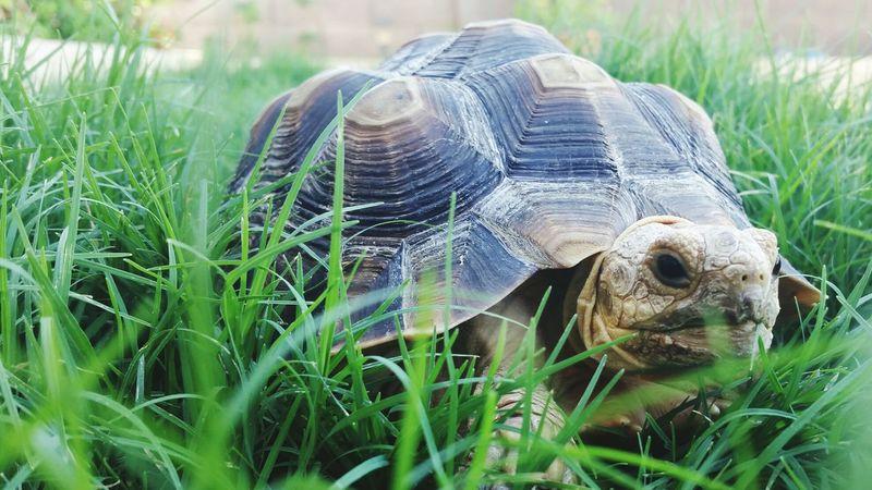 Grazing Sulcata Tortoise Grass Close-up Grazing Green Nature's Diversities