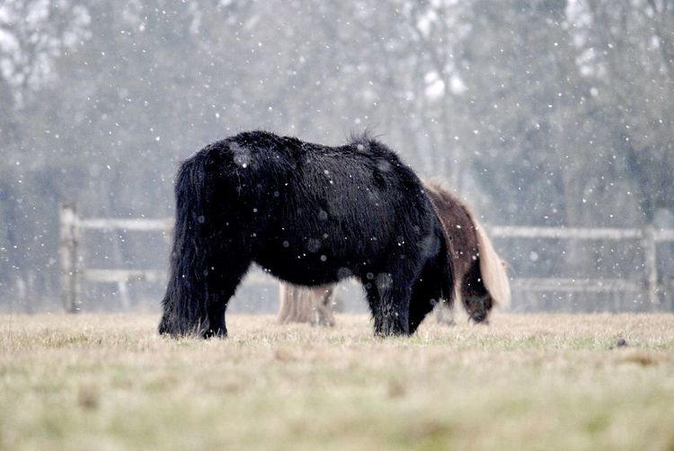 Side view of a shetland ponies in snow in fenced field