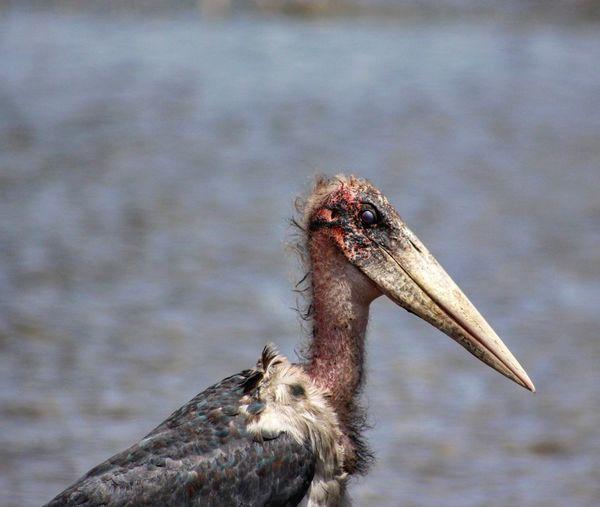 Close-up of marabou stork at lake nakuru national park