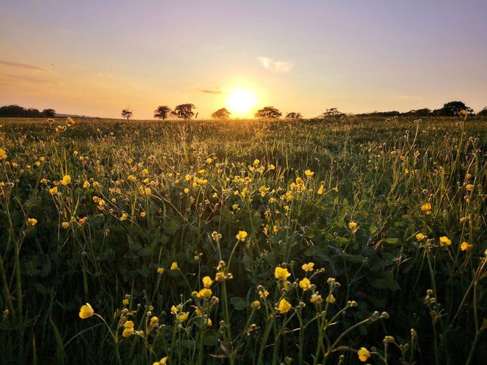 Buttercup Sunset Meadow Wildflower Buttercup Countryside Evening Norfolk England June Flower Head Flower Sunset Rural Scene Backgrounds In Bloom Plant Life Blooming