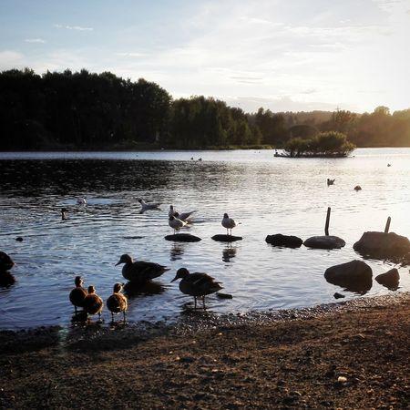 Babyducks Seagulls Sunset østensjøvannet Oslo Norway