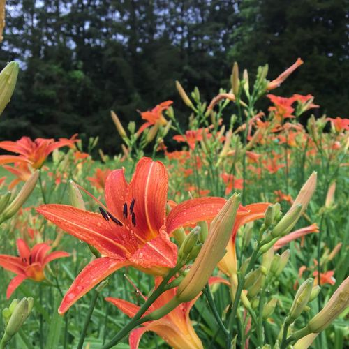 Growth Plant Nature Orange Color Beauty In Nature Flower Freshness Fragility Petal Flower Head Day Leaf No People Outdoors Blooming Close-up Day Lily