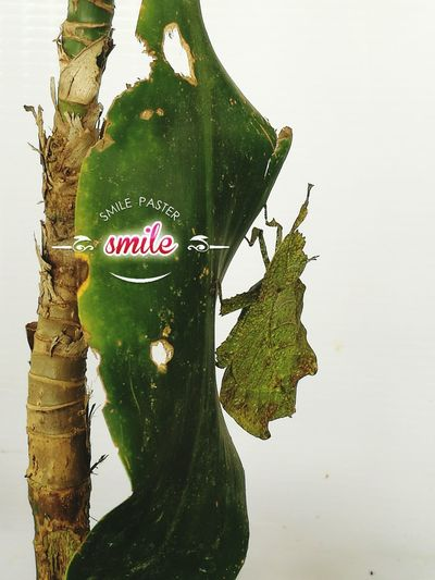 First Eyeem Photo Leafs Photography Camouflaged Camouflaged Insect Leafinsect