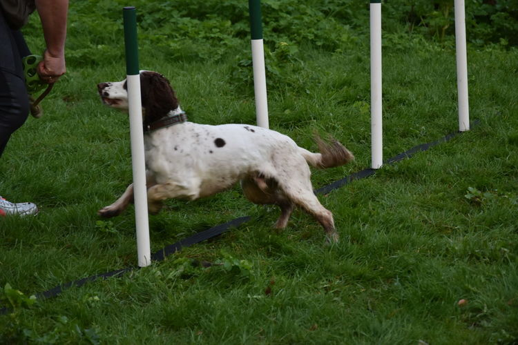 Agility Agility Dog Animal Themes Day Dog Domestic Animals Field Grass Livestock Mammal No People One Animal Outdoors Pets Sheep Weeve